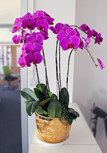 Orchids in a gold flower pot, a classic Chinese style choice